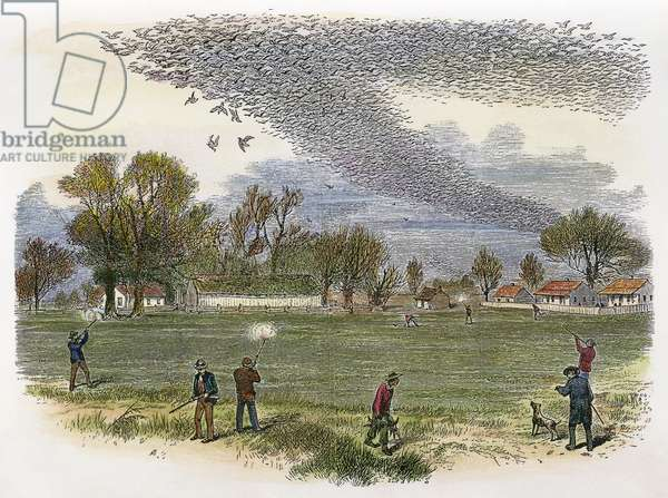 PIGEON HUNTING, c.1875 Hunters shooting into a huge flock of migrating passenger pigeons. Line engraving, c.1875.