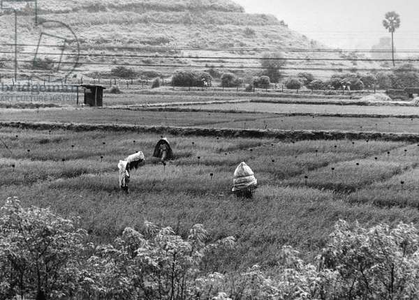 INDIA: AGRICULTURE Workers in rice fields near Bombay, India. Photograph, 1967.