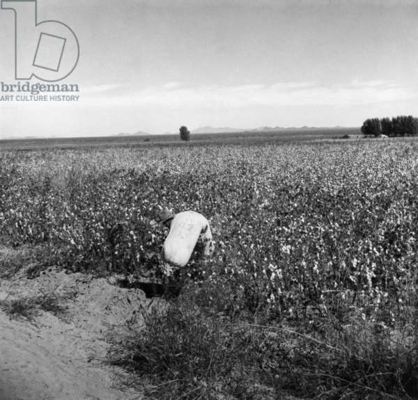 A migrant worker hauling cotton from a field at Cortaro Farms in Pinal County, Arizona, 1940 (b/w photo)