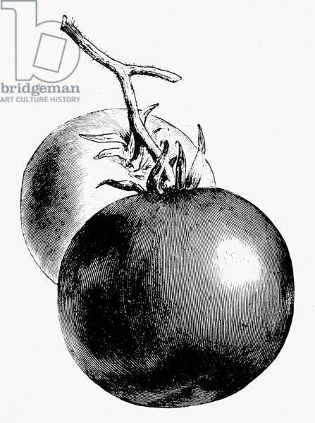 BOTANY: TOMATO Lycopersicon esculentum. Line engraving.