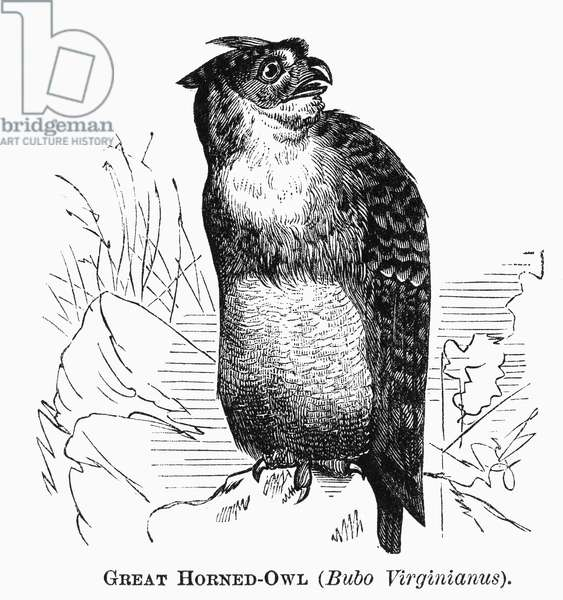 GREAT HORNED OWL, 1877 Bubo virginianus. Line engraving, 1877.