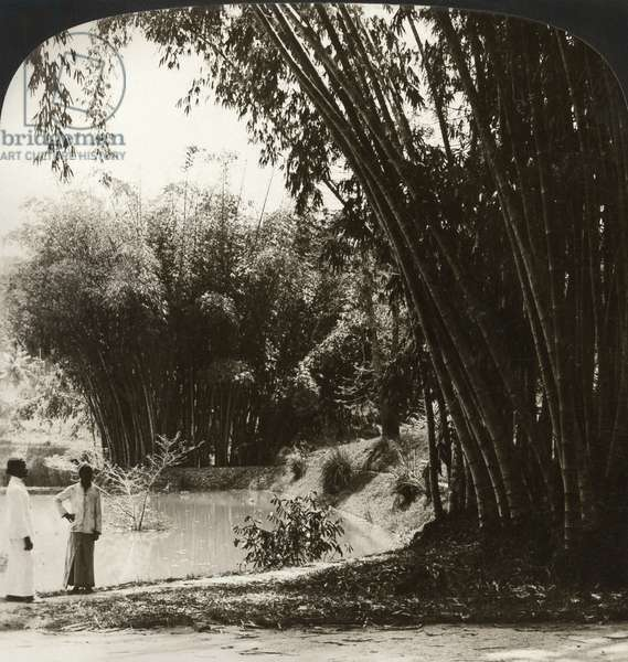CEYLON: BAMBOO, c.1907 'Lofty bamboo trees in the beautiful botanical gardens, Peradeniya, Ceylon.' Stereograph, c.1907.