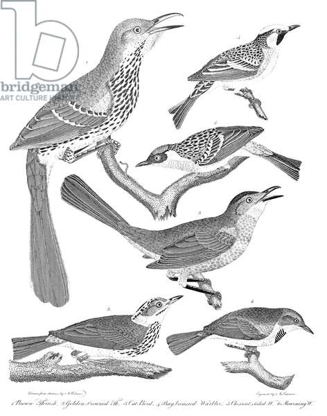 AMERICAN ORNITHOLOGY 1. Brown thrush 2. Golden-crowned thrush 3. Cat bird 4. Bay-breasted warbler 5. Chestnut-sided warbler 6. Mourning warbler. Line engraving from Alexander Wilson's 'American Ornithology,' 1808-1814.