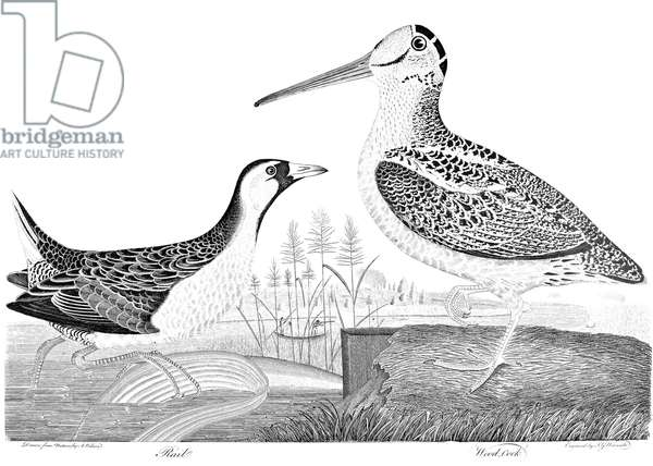 AMERICAN ORNITHOLOGY Rail and Woodcock. Line engraving from Alexander Wilson's 'American Ornithology,' 1808-1814.
