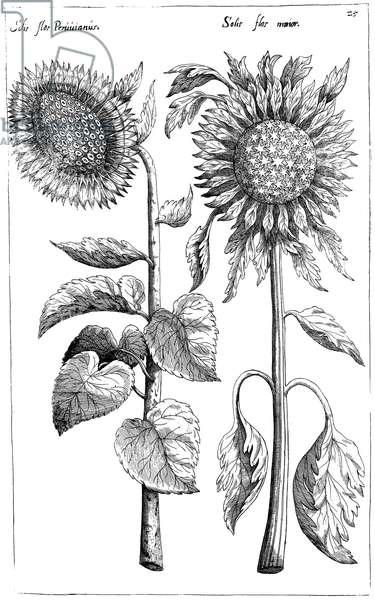 """SUNFLOWERS Helianthus. Engraving from Emanuel Sweerts' """"Florilegium"""" 1612, Frankfurt."""
