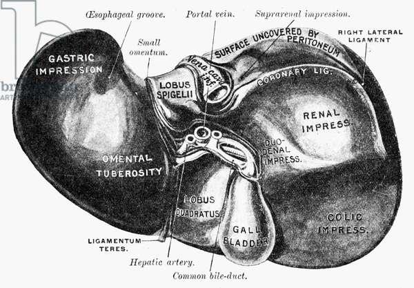 HUMAN LIVER A diagram of the human liver.