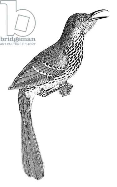 BROWN THRASHER Toxostoma rufum. Line engraving from Alexander Wilson's 'American Ornithology,' 1808-1814.