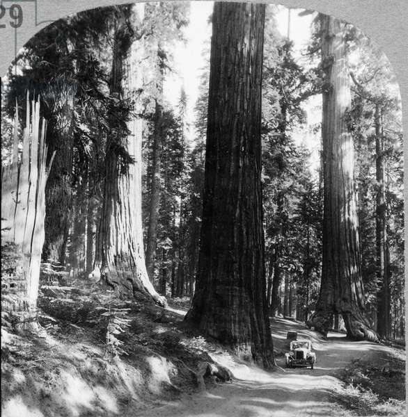 YOSEMITE: SEQUOIA GROVE Giant sequoia trees and the Wawona Tree tunnel in the Mariposa Grove, Yosemite National Park, California. Stereograph, c.1927.