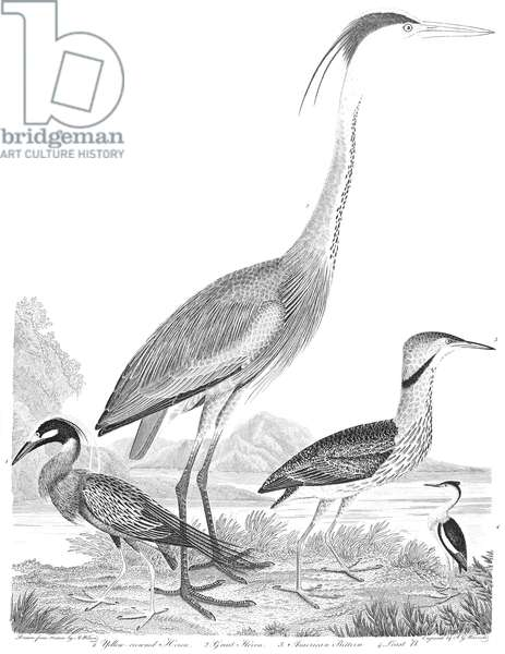 AMERICAN ORNITHOLOGY 1. Yellow-crowned heron 2. Great heron 3. American bittern 4. Least bittern. Line engraving from Alexander Wilson's 'American Ornithology,' 1808-1814.