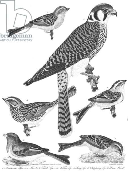 "ORNITHOLOGY, 19th CENTURY 1. American sparrow hawk 2. Field sparrow 3. Tree sparrow 4. Song sparrow 5. Chipping sparrow 6. Snow bird: line engraving from Alexander Wilson's ""American Ornithology,"" 1808-1814."