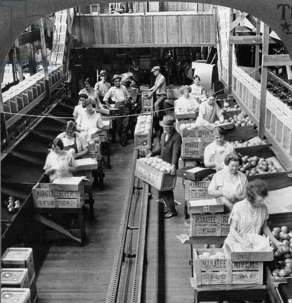 FLORIDA: BOXING GRAPEFRUIT Workers packing grapefruit into crates at a plant in Manatee River, Florida. Stereograph, c.1925.
