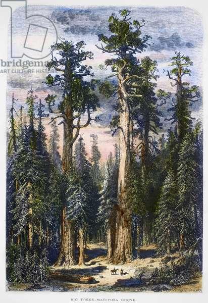 MARIPOSA GROVE, 1874 The Mariposa Grove of Big Trees in the Yosemite Valley, California. Wood engraving, American, 1874.