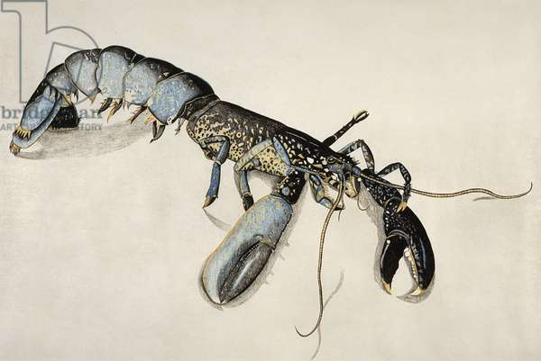 Lobster, c.1944 (conte and coloured crayon on paper)