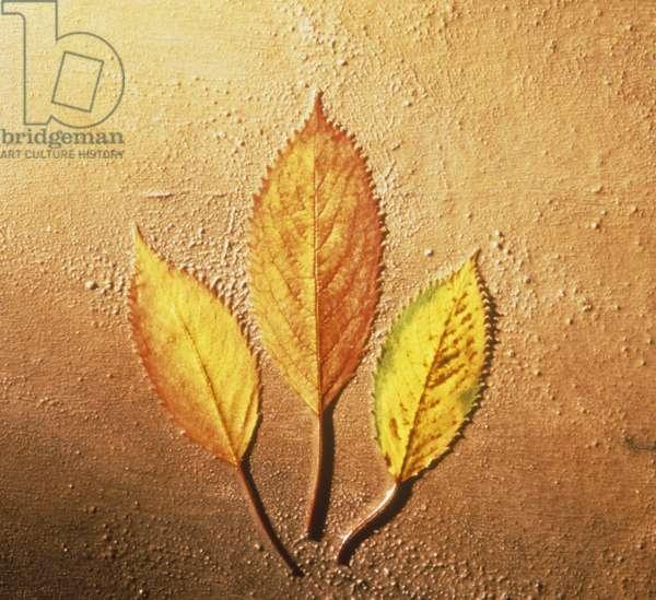 Three yellow beech leaves