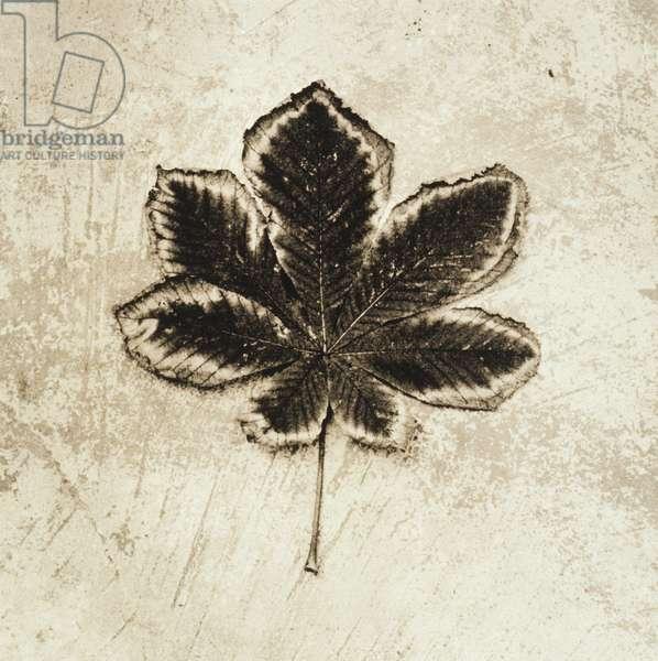 Dried leaf of chestnut tree