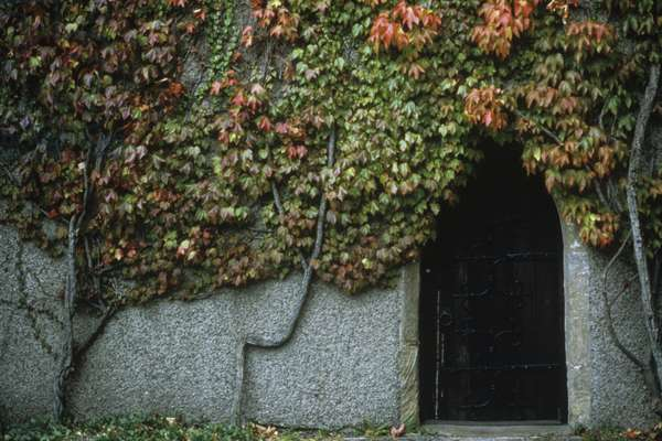 Doorway of ivy covered building