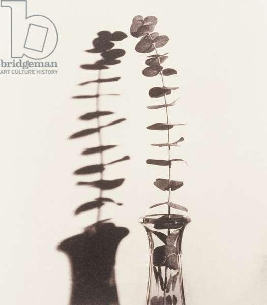 Eucalyptus twig in vase with shadow
