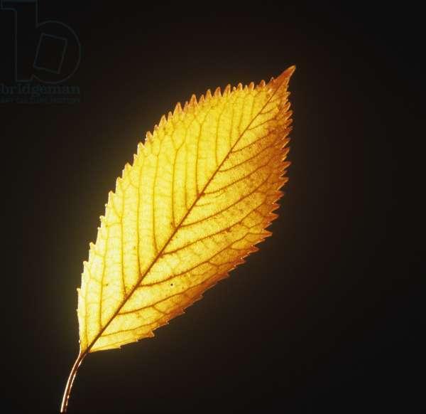 Yellow leaf on black background