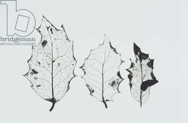 Three dried holly leaves