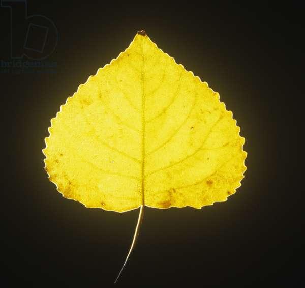 Yellowed lime tree leaf