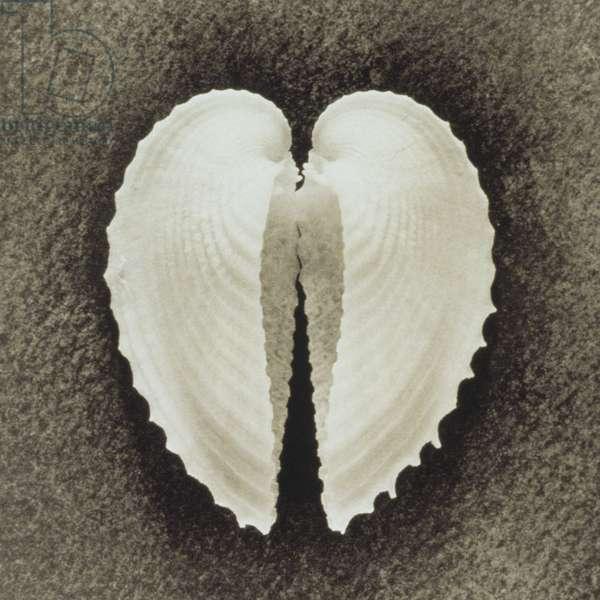 Opened shell in heart shape