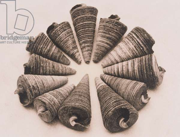Composition of cone sea shells