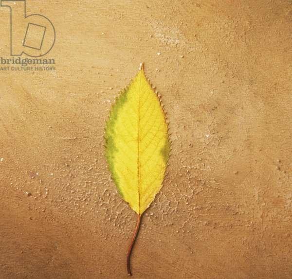 Yellow leaf on ground