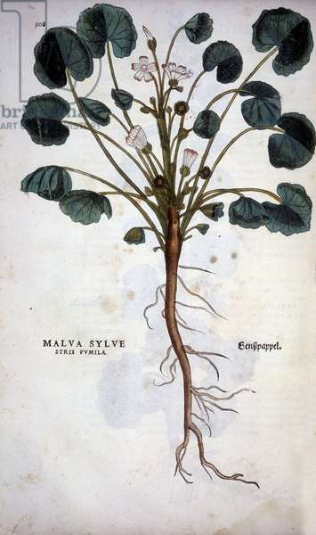 "Malva Sylvestre (Great Purple) - in """" De Historia Stirpium commentarii insignia"""" by Leonhart Fuchs, 1542."