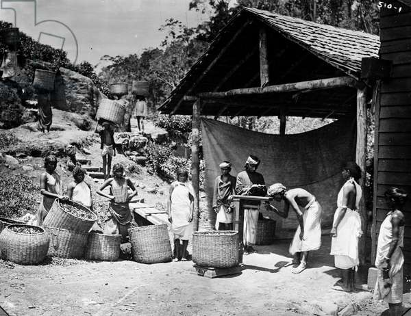 The collection of the tea in a factory in Nuwara Elya, Ceylon (present-day Sri Lanka) Photography around 1900