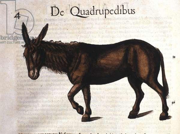 Donkey from Historia Animalium by Conrad Gesner, Tiguri 1560