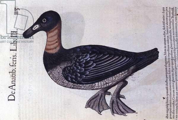 The red-neck duck after Historiae animalium by Konrad Gesner, Tiguri, 1555. Bibl. Nazionale Braidense, Milan.