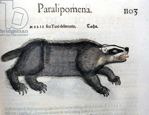 Badger, illustration from 'Historia Animalium' by Conrad Gesner, 1560 (colour litho)