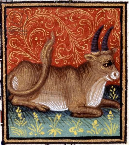 The Taurus. Miniature of a horoscope. 15th century manuscript. Bibl. Trivulziana, Milan.
