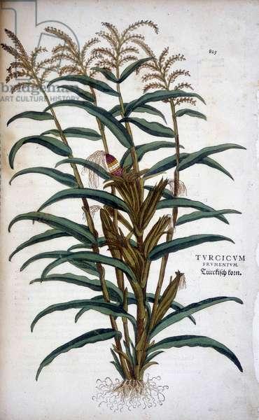 """Turcicum Frumentum (Mis) - in """""""" De Historia Stirpium commentarii insignes"""""""" by Leonhart Fuchs, 1542"""