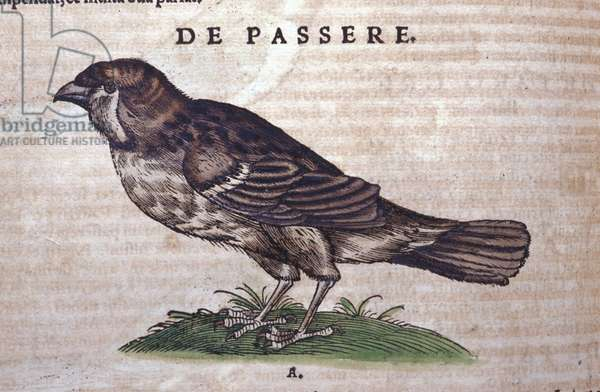 The sparrow in Historia Animalium by Conrad Gesner (1516 - 1565), Tiguri, 1560. Bibl. Nazionale Braidense, Milan.