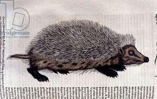 Hedgehog, illustration from 'Historiae animalium' by Conrad Gesner, 1555 (colour litho)