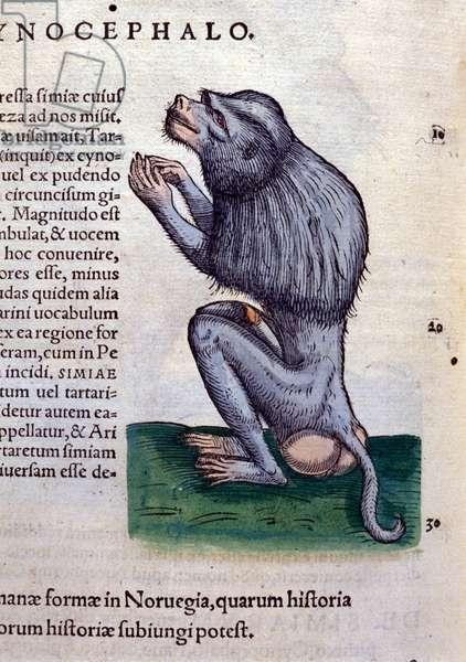 The baboon after Historiae animalium by Konrad Gesner, Tiguri, 1555. Bibl. Nazionale Braidense, Milan.