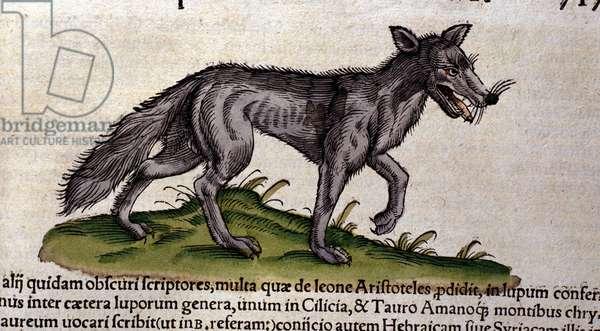 The wolf after the Historia Animalium by Conrad Gesner, Tiguri 1560. Biblioteca nazionale Braidense. Milan