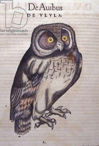 The Owl in Historia Animalium by Conrad Gesner (1516 - 1565), Tiguri, 1560. Bibl. Nazionale Braidense, Milan.