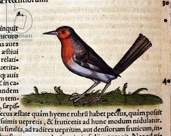 Rouge after the Historia Animalium by Conrad Gesner, Tiguri 1560. Biblioteca nazionale Braidense. Milan
