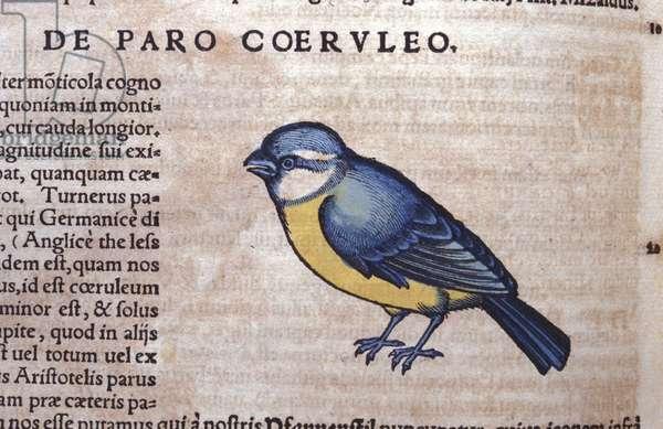 Blue Passereau in Historia Animalium by Conrad Gesner (1516 - 1565), Tiguri, 1560. Bibl. Nazionale Braidense, Milan.