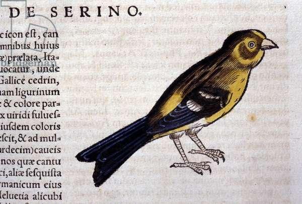 The serin d'aprés Historiae animalium by Konrad Gesner, Tiguri, 1555. Bibl. Nazionale Braidense, Milan.