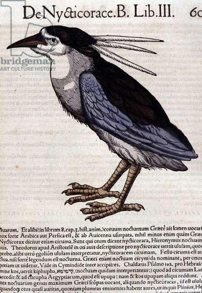 La bihoreau in Historia Animalium by Conrad Gesner (1516 - 1565), Tiguri, 1560. Bibl. Nazionale Braidense, Milan.