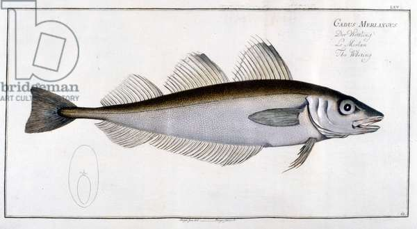 Natural history board: The whiting after Marc Elieser Bloch Ichtyologie Paris - Berlin - London 1787.