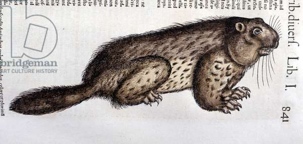 "Castor - in ""Historia Animalium"""" by Conrad Gesner (1516 - 1565), Tiguri, 1560. Bibl. Nazionale Braidense, Milan."