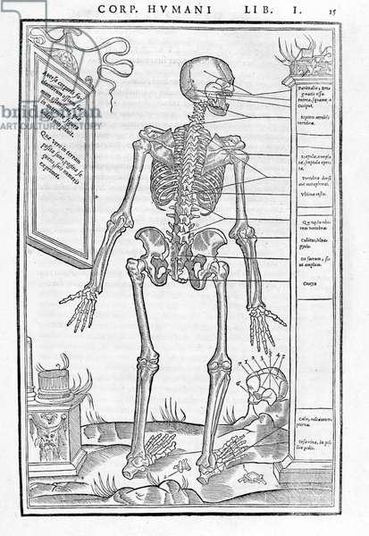 "Human skeleton, posterior part. Anatomical plate of """" De dissectione partium corporis humani lbri tres... """" by Carlo Stefano Riverio, Paris 1545"