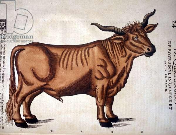 A beef from the Historia Animalium of Conrad Gesner, Tiguri 1560. Biblioteca nazionale Braidense. Milan