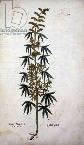 "Cannabis Sativa (Hemp cultivtive) - in """" De Historia Stirpium commentarii insignia"""" by Leonhart Fuchs, 1542."