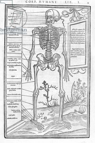 "Human skeleton, anterior part. Anatomical plate of """" De dissectione partium corporis humani lbri tres... """" Carlo Stefano Riverio, Paris 1545"