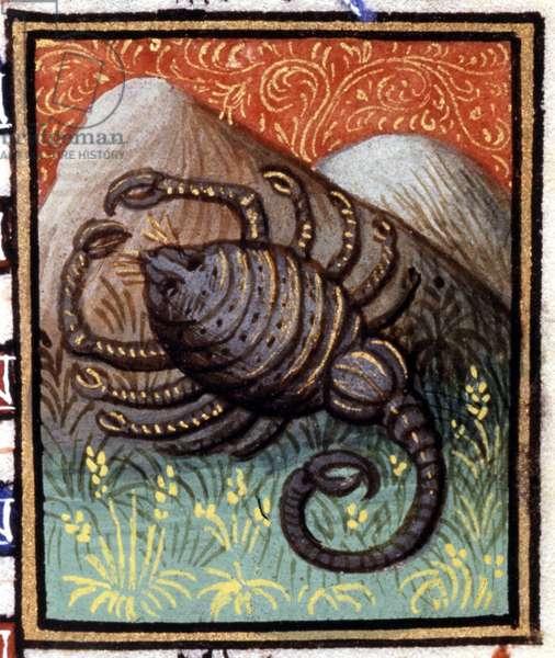 The Scorpio. Miniature of a horoscope. 15th century manuscript. Bibl. Trivulziana, Milan.